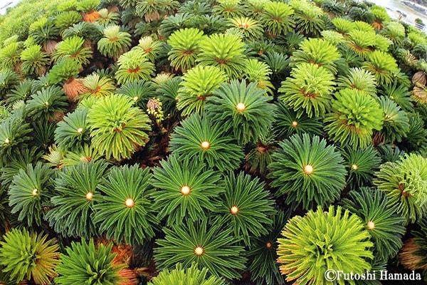 5・6月 ~造形的な美しさをみせる新緑のソテツ(あやまる岬/奄美市笠利町)~